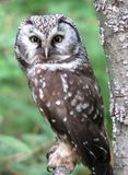 Boreal owl roosting Royalty Free Stock Photography
