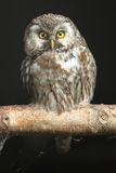 Boreal owl Royalty Free Stock Photos