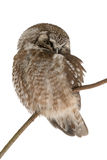 Boreal owl Royalty Free Stock Image