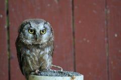Boreal owl Stock Image