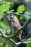 The Boreal Owl Royalty Free Stock Photo