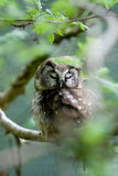 The Boreal Owl Royalty Free Stock Photography