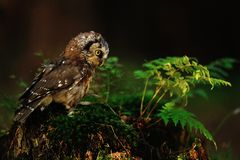Boreal Owl standing on the moss Stock Photos