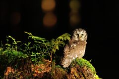 Boreal Owl standing on the moss Royalty Free Stock Photos