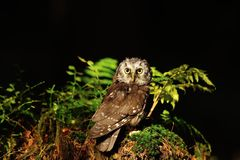 Boreal Owl standing on the moss Stock Image