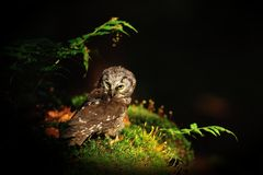 Boreal Owl standing on the moss Royalty Free Stock Photo