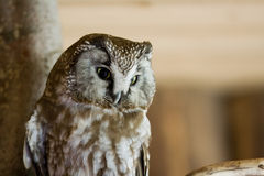 The Boreal Owl Stock Photography