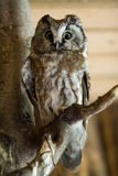 The Boreal Owl Royalty Free Stock Image