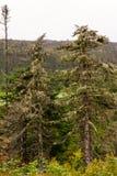 Boreal trees Royalty Free Stock Photo