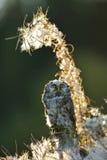 Borealnej sowy przyglądający up Zdjęcie Royalty Free