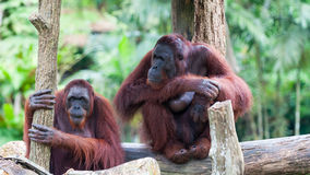 Borean Orangutan Obraz Royalty Free