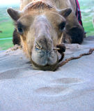 Bored. Lazy camel in Mongolia royalty free stock photos