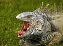Bored. An iguana yawning at the zoo Stock Photography