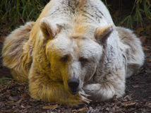 Bored. A relaxed or very bored bear Royalty Free Stock Photo