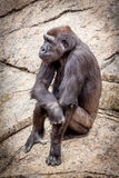 Bored ape in zoo. A bored ape passing the time of day in a zoo setting royalty free stock photo