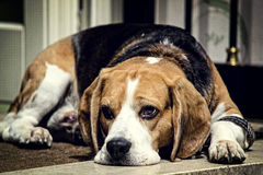 Bored Basset Hound Stock Photos