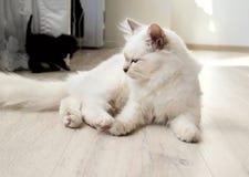 Bored Birman Cat Royalty Free Stock Image