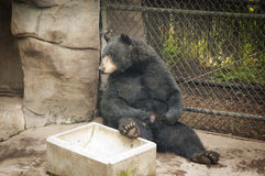 Bored black bear Stock Photography