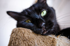 Bored black cat. Bored looking black cat with green eyes Royalty Free Stock Photo