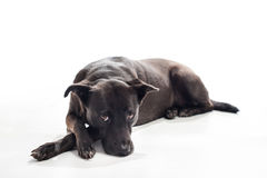 Bored, Black, Mixed-Breed Dog Royalty Free Stock Images