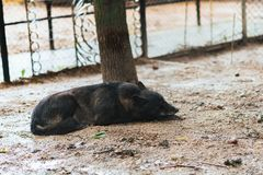 Bored black wolf in captivity. stock images