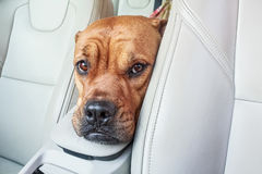 Bored bullmastiff dog in car. Close up head of brown bullmastiff dog in car stock photography