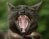 Bored Cat. A black cat in the middle of a yawn Stock Photo