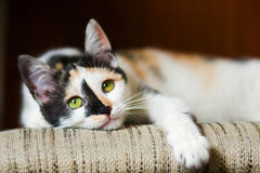 Bored cat Royalty Free Stock Photo