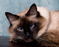 Bored cat portrait. Royalty Free Stock Photography