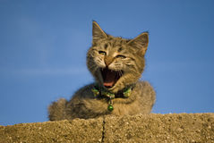 Bored cat on the wall. Cat on the wall staring at camera Royalty Free Stock Images