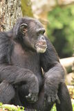 Bored Chimpanzee Royalty Free Stock Images