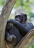 Bored chimpanzee Royalty Free Stock Image