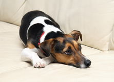 Bored dog. Bored Jack Russell dog on a couch Stock Image