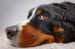 Bored dog Royalty Free Stock Photo