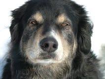 Bored dog. Headshot of black furry dog Royalty Free Stock Photo