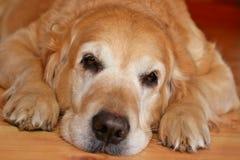 Bored dog Stock Image