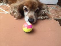 BORED DOG WITH BALL. DOG BORED WITH BALL WAITING COMPANY TO BE ABLE TO PLAY WITH THE BALL Royalty Free Stock Photo