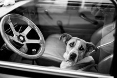 Bored dog in car. Bored dog in sitting in car looking through window Stock Image