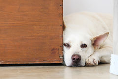 Bored dog lying on the floor. A white bored dog is lying on the floor Stock Images