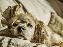 Bored dog resting. Portrait of a coket female dog testing on a sofa Royalty Free Stock Image