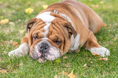 Bored English bulldog. Portrait of the bored English bulldog outdoor,selective focus Royalty Free Stock Photo