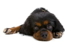 Bored English Toy Spaniel Stock Photo