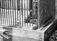 Bored Gorilla in Cage Royalty Free Stock Images