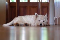Bored hond die op een gang wachten Stock Fotografie