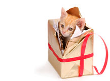 Bored kitty in present. A yellow kitty breaking out of a present Royalty Free Stock Images
