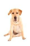 Bored labrador puppy Stock Image