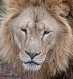 Bored lion Royalty Free Stock Image