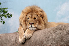 Bored Lion. The king of beasts looking bored Royalty Free Stock Photography