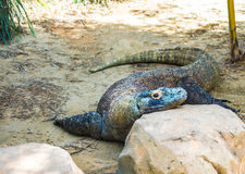 Bored Lizard / Lazy days of summer. This Iguana looks bored or lazy Stock Images