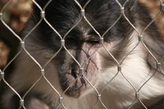 A bored monkey Royalty Free Stock Photo